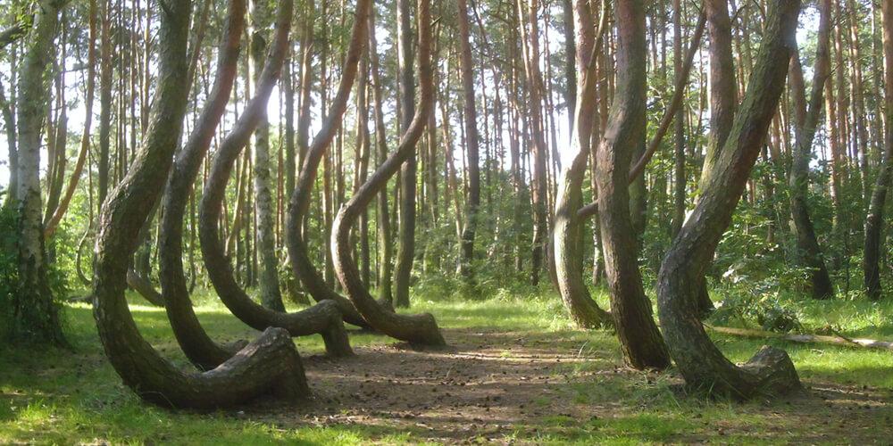 Искривлённые деревья в польском лесу