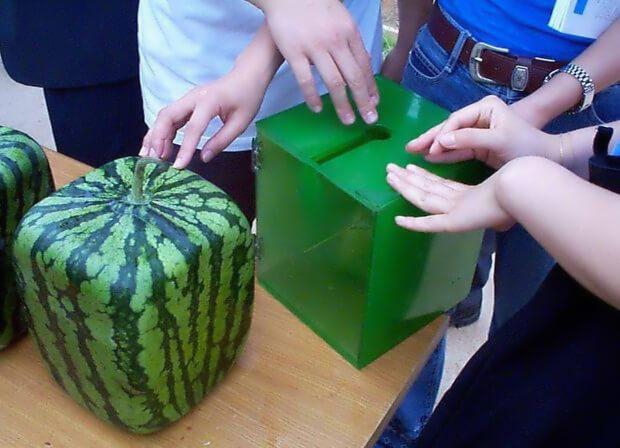 Как выращивают квадратные арбузы в Японии